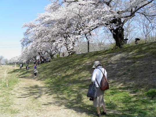 A14.04.15-31  白石川39.jpg