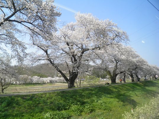A14.04.15-31  白石川58.jpg