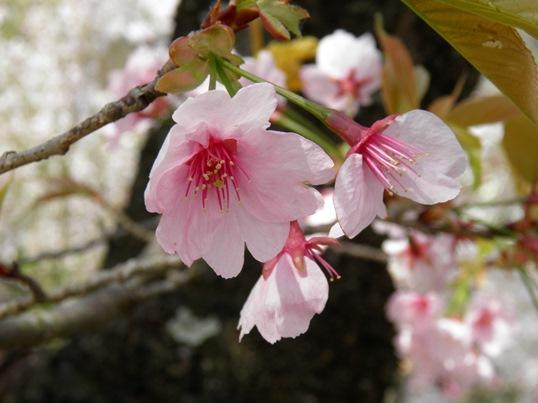 A14.04.16-11  花見山81 安行桜.jpg
