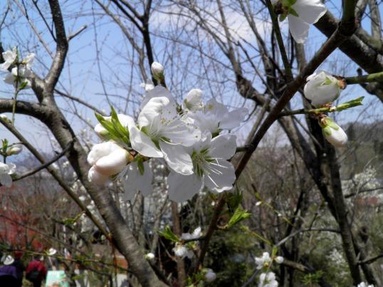 A14.04.16-11  花見山90 梅.jpg