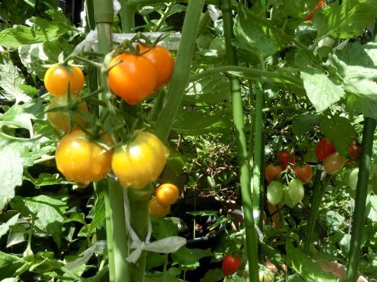 A2014-06-11  家庭菜園15.jpg