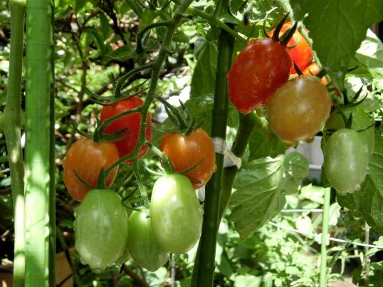 A2014-06-11  家庭菜園39.jpg