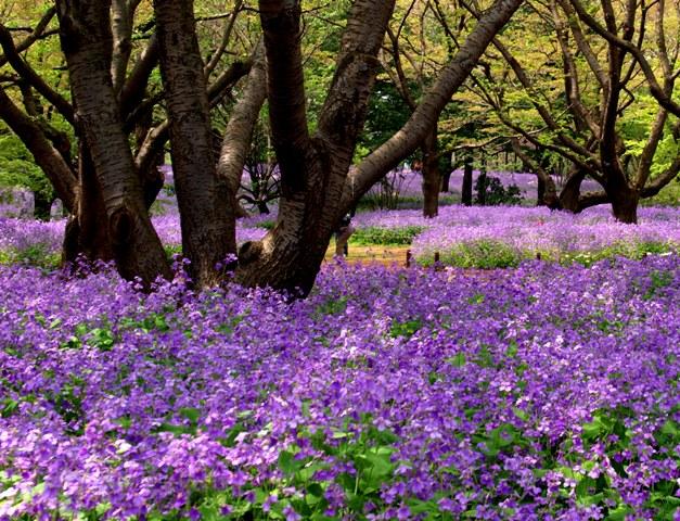 昭和記念公園 春3.jpg