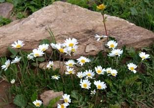 高山植物3.jpg