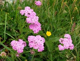 高山植物4.jpg