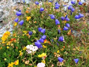 高山植物5.jpg