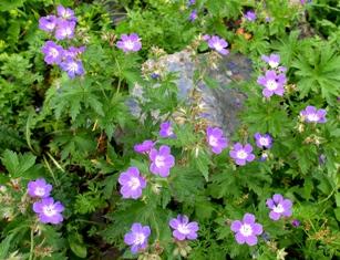 高山植物8.jpg