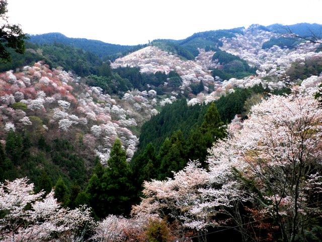 10.04.09-0001  吉野の桜1 吉水神社.jpg