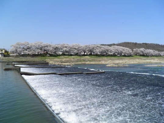 A14.04.15-31  白石川35.jpg