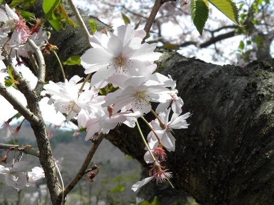 A14.04.16-11  花見山84 十月桜.jpg
